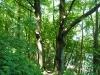 Am Hochuferweg durch den Buchenwald
