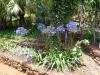Schmucklilie im Jardim Botânico
