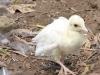 Weißes Pfauenbaby im Parque dos Loiros