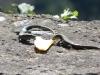 Eidechsen stehen auf Bananen