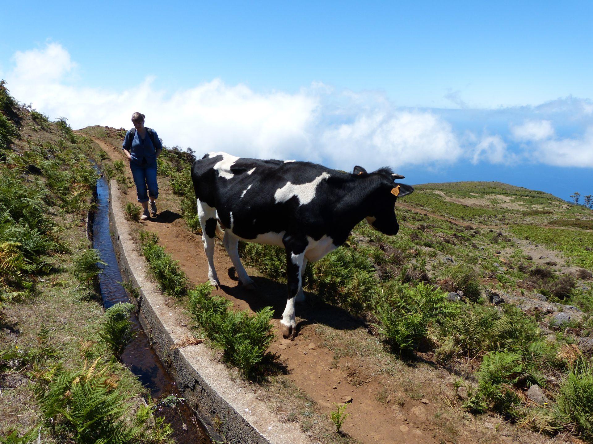 Mitten im Weg die Kuh, Platz da!