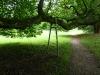 So alte Bäume, dass sie nur noch auf Krücken stehen können