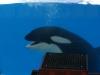 Ungeduldiger Orca: Wann gehts los?