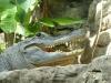 Regungsloses Krokodil