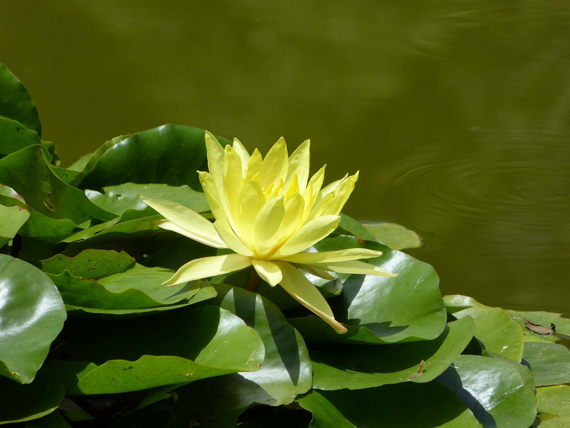 Eindrücke vom Jardin Botanico: Seerosen in allen Farben