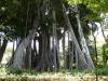 Eindrücke vom Jardin Botanico: Riesiger Feigenbaum